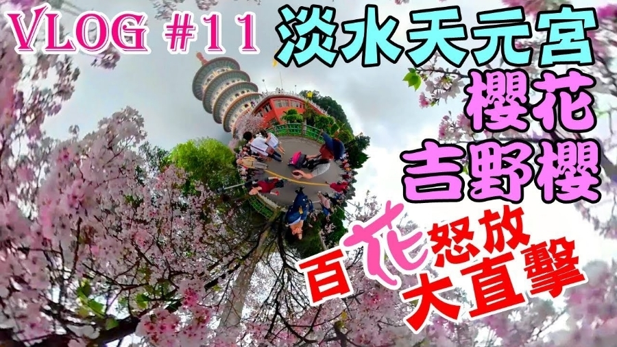 【台北】2018年淡水天元宮櫻花,吉野櫻百花怒放大直擊│Cherry Blossoms at Taiwan Tianyuan Palace. Tamsui Tien Yuan Temple.